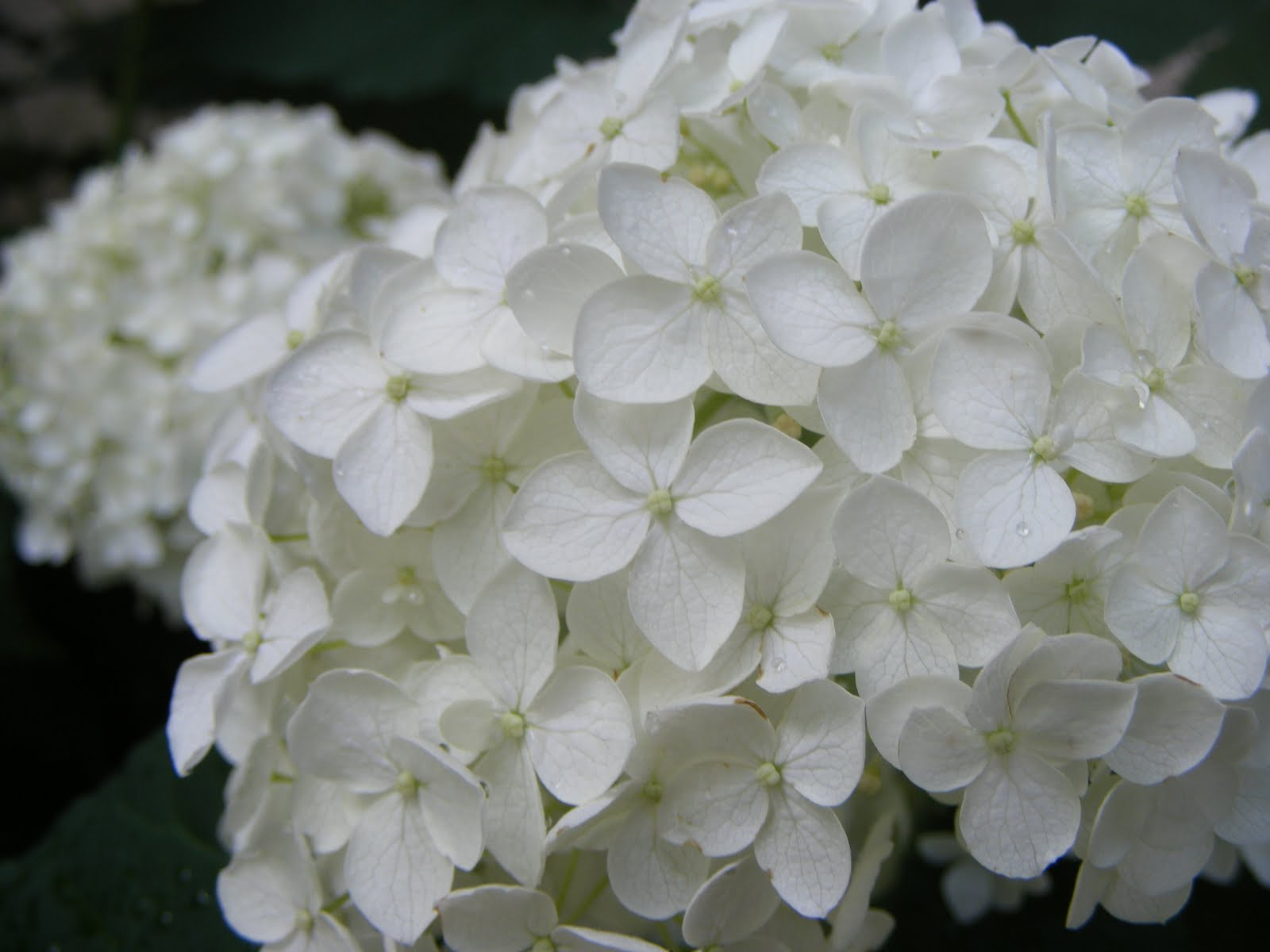 Quick Payday Loans >> HYDRANGEA WHITE ANTIQUE | Farm Fresh Delivered