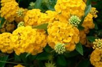 Yellow Hydrangeas