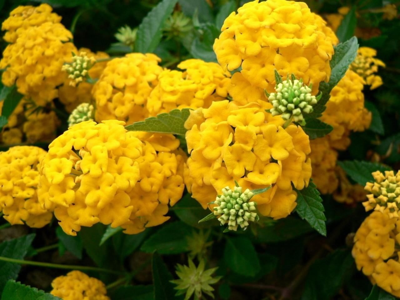 Yellow Hydrangeas : Farm Fresh Delivered