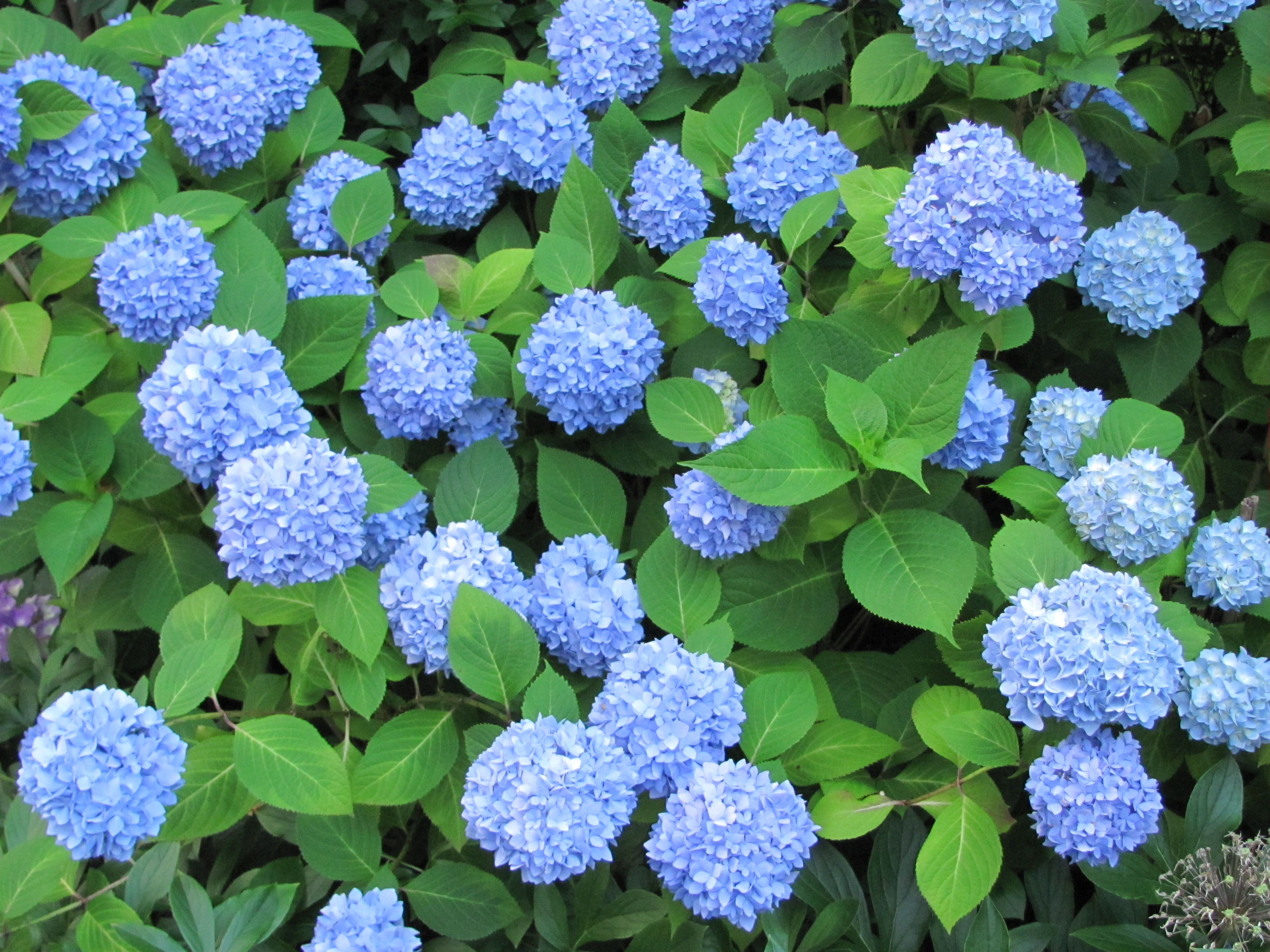 Quick Payday Loans >> Blue Hydrangeas | Farm Fresh Delivered