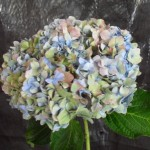 HYDRANGEA BLUE ANTIQUE OR PURPLE ANTIQUE