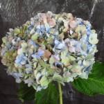 HYDRANGEA BLUE ANTIQUE OR PURPLE ANTIQUE