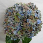 HYDRANGEA BLUE OR PURPLE ANTIQUE