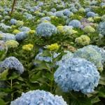 HYDRANGEA JUMBO BLUE