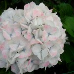 HYDRANGEA WHITE ANTIQUE (2)